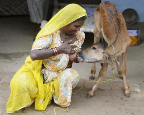Woman Breastfeeding Cow