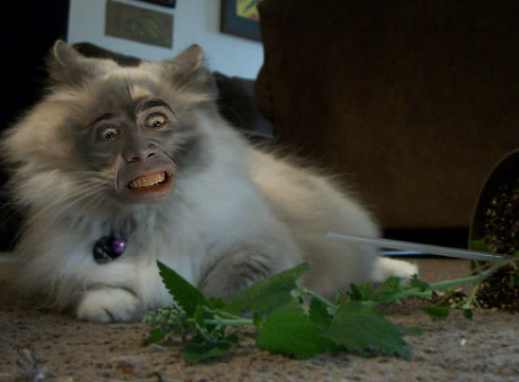 nic cage cat face 1