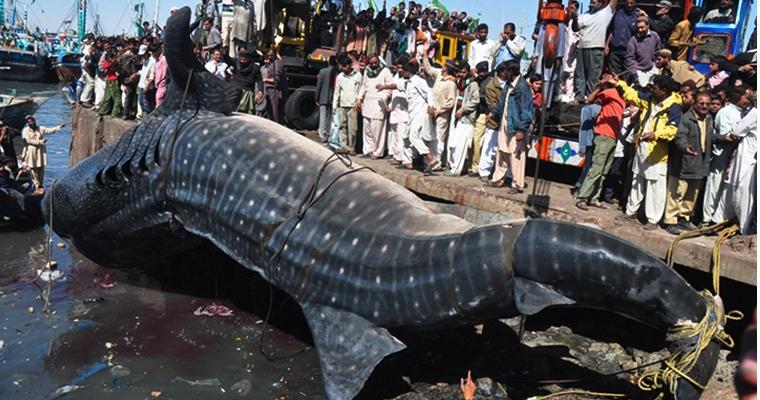 Whale Shark Pakistan