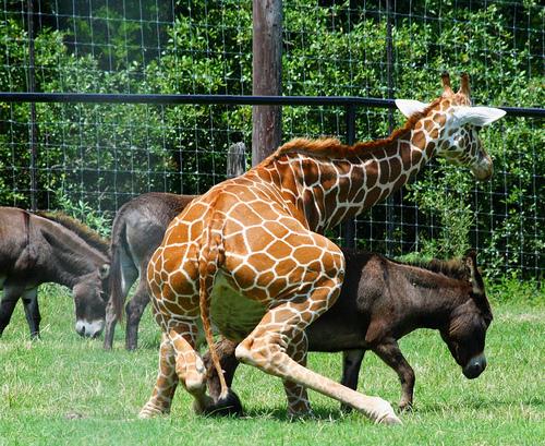 Giraffe Donkey