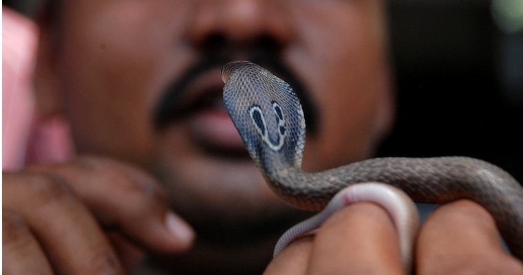 Man Bites Cobra To Death - Nepal