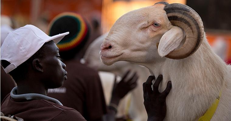 Dogo Ndiaye strokes ram