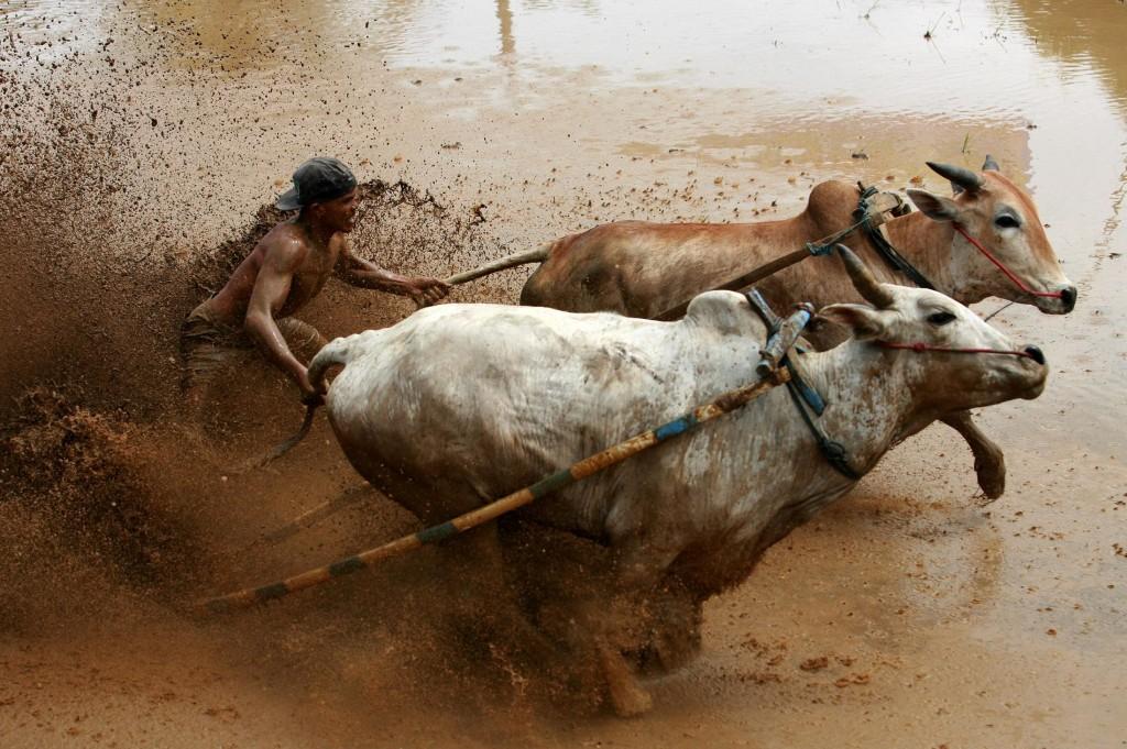 Sumatran Cow Race Action Shot