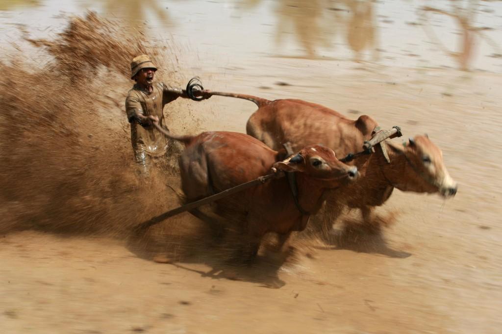 Sumatran Cow Race Action Shot 2