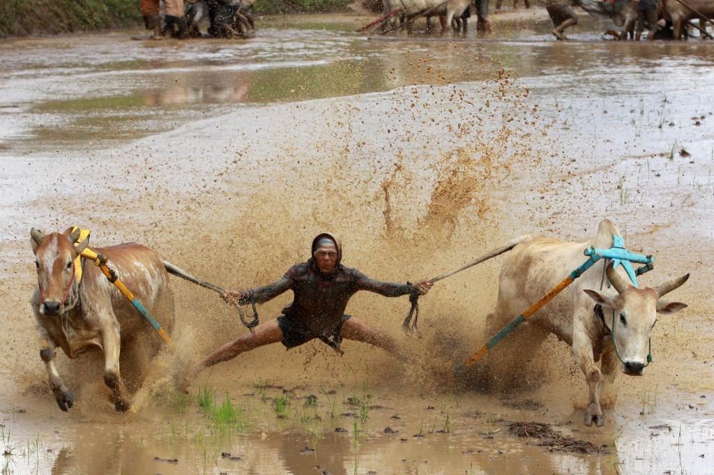Sumatran Cow Race Action Shot 3