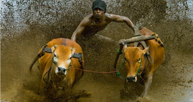 Sumatran Cow Race Action Shot 4
