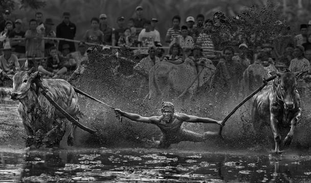 Sumatran Cow Race Action Shot 5