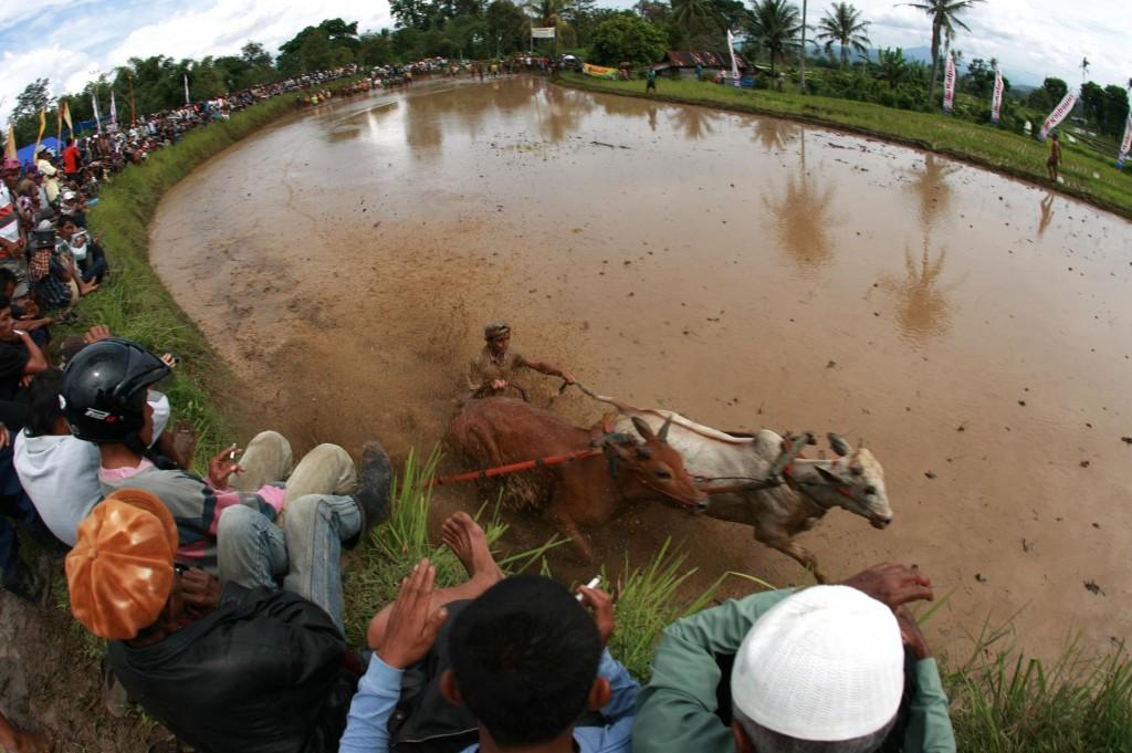 Sumatran Cow Race Audience