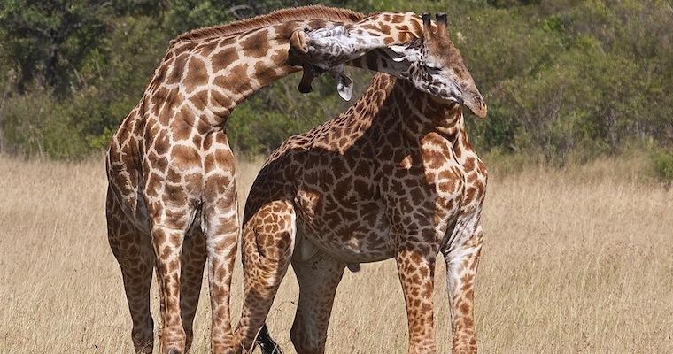 Insane Giraffe Battle