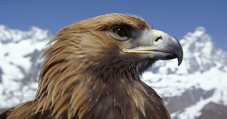 Golden Eagle - Child Snatcher