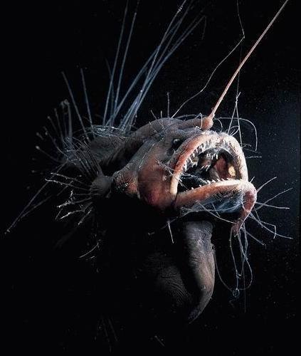 Underwater Weirdos - Fanfin Seadevil