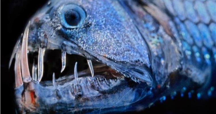 Weirdos of the Deep - Viper Fish