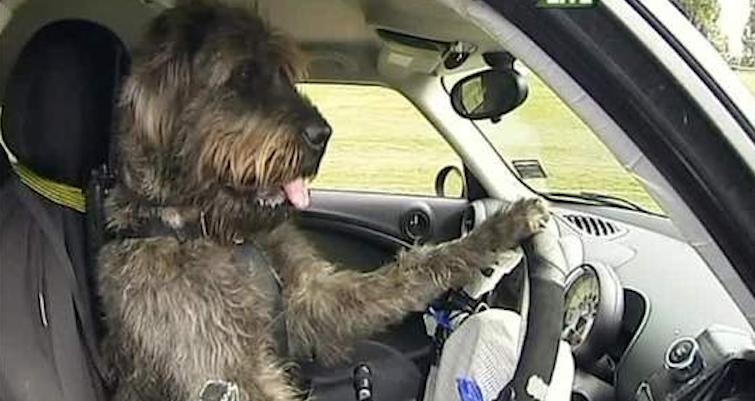 dogs driving cars