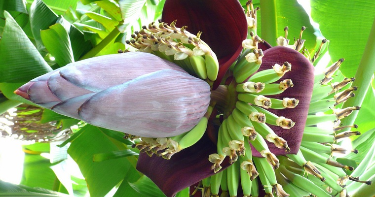 Banana Tree Blossom Header
