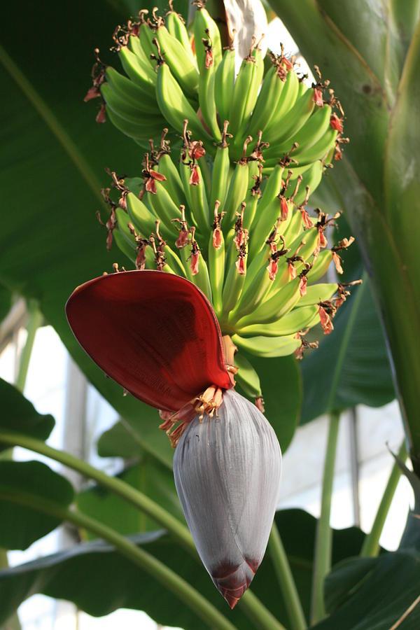 Banana Tree Blossom
