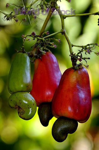 Cashews Growing