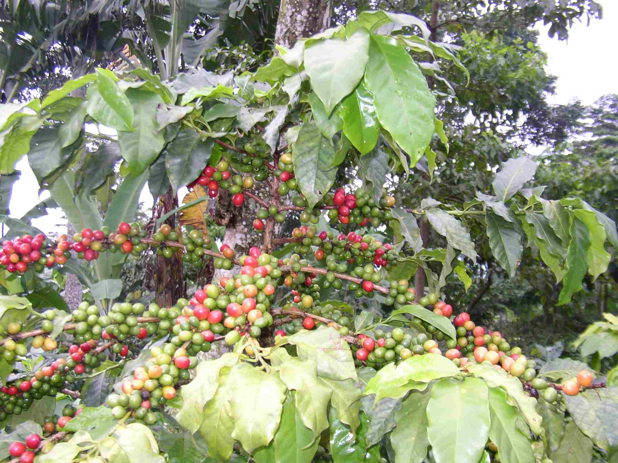 Coffee Plant With Fruits
