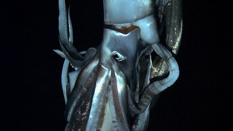 Giant Squid Featured
