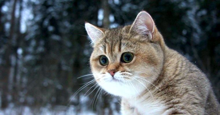 Sick Chirpse Cat