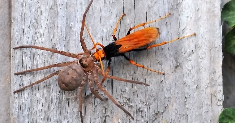 wasp vs spider