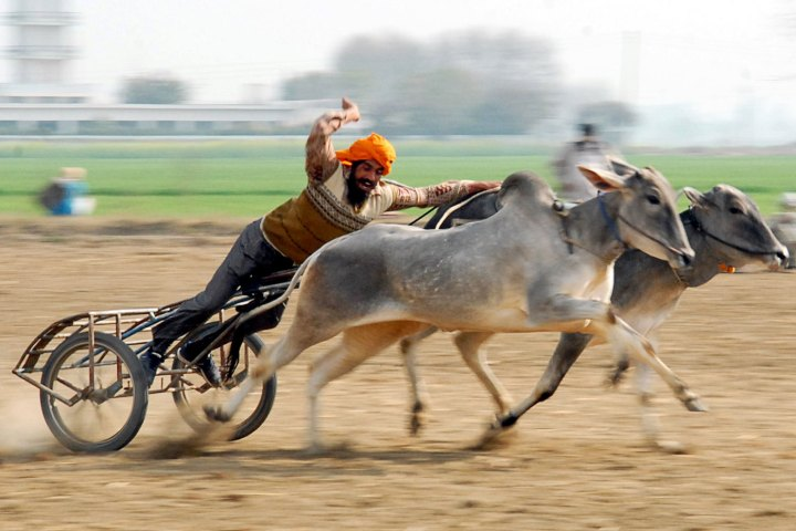 Cow race participant Rural Olympics