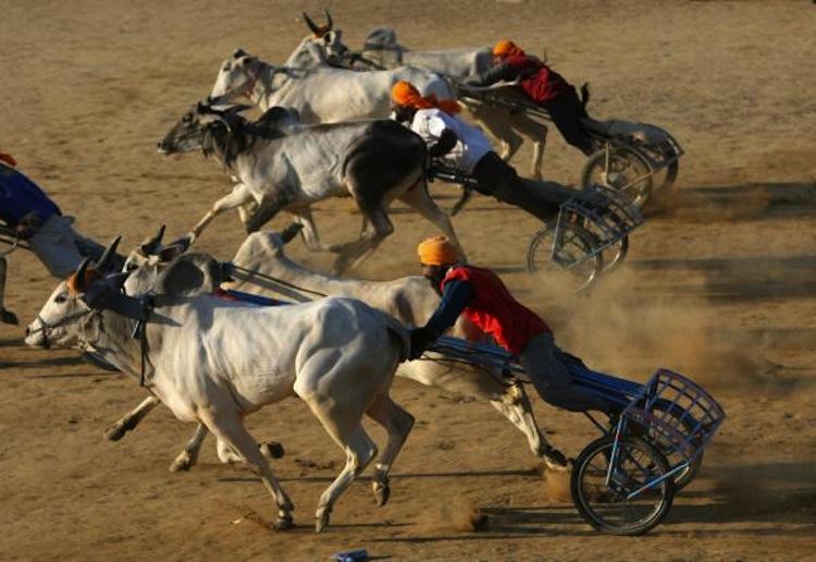Multiple Participants, cow race