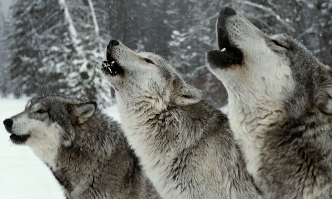 Wolf Pack Howling
