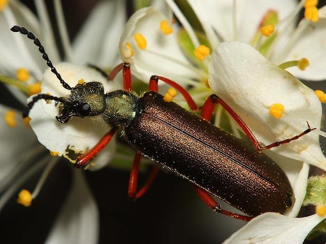 spanish fly beetle