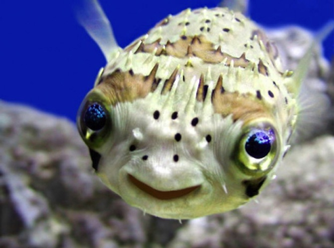 fugu is the cutest deadly fish