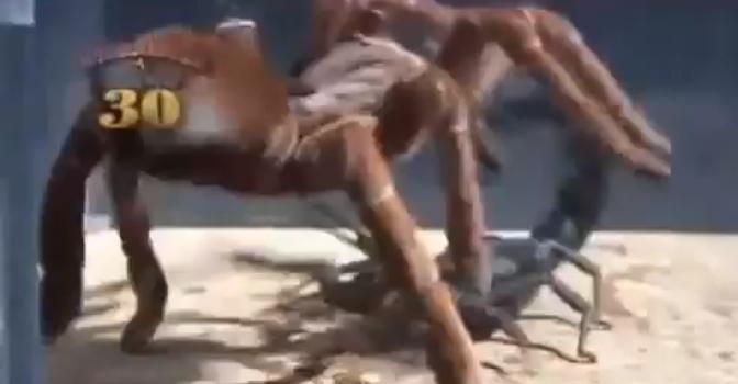 Japanese Bug Fights