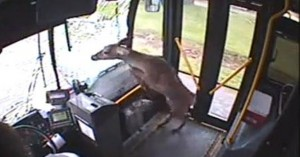 Superhuman Deer Gets Hit By A Bus And Smashes Through The Windscreen; Ends Up Perfectly Fine And Just Takes A Ride On The Bus