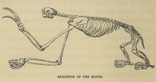 Sloth Skeleton