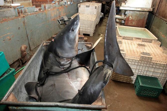 Biggest Mako Shark - California - Sat In A Bin
