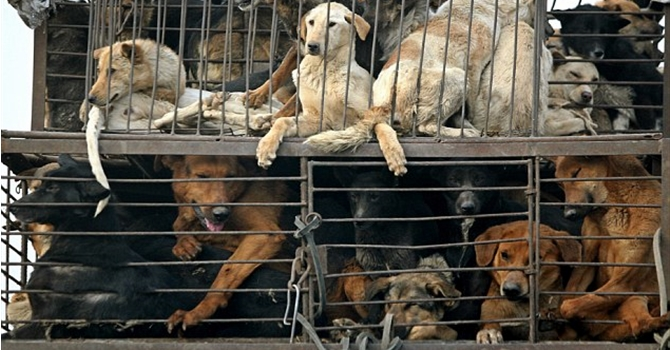 Chinese Dog Meat Festival - Dogs On Lorries In Transit