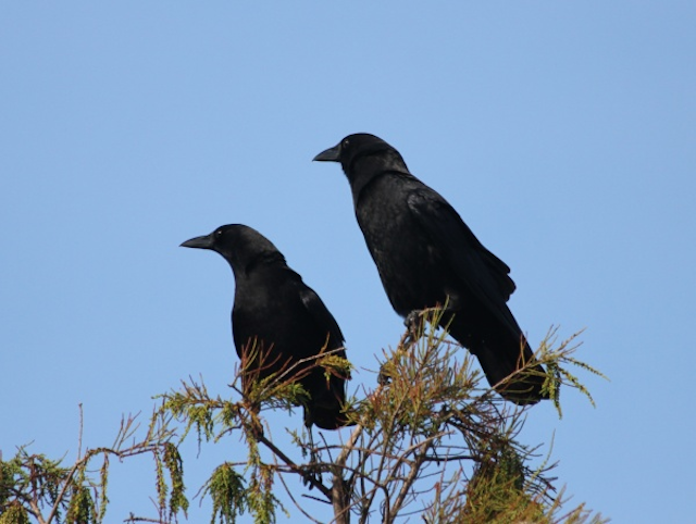 Crows On Branch