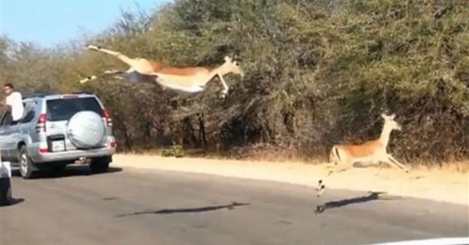 Impala Jumps Into Car Chased By Cheetah