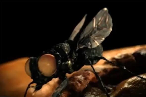 New World Screwworm Fly