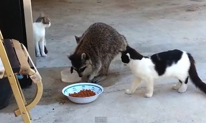 Raccoon Steals Dog Food Bag