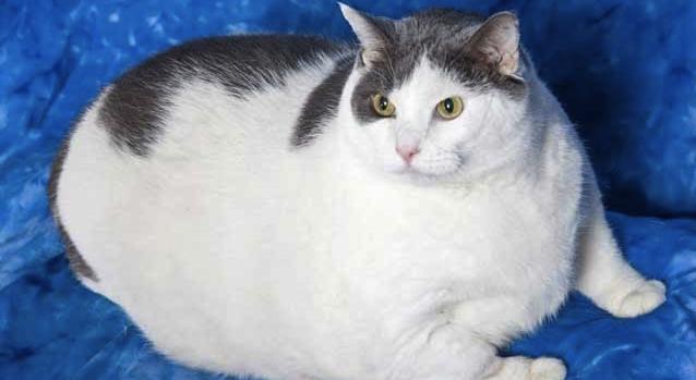 Buddha 31 Pound Cat 3