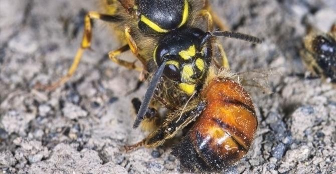 Wasp vs bee sting - photo#19