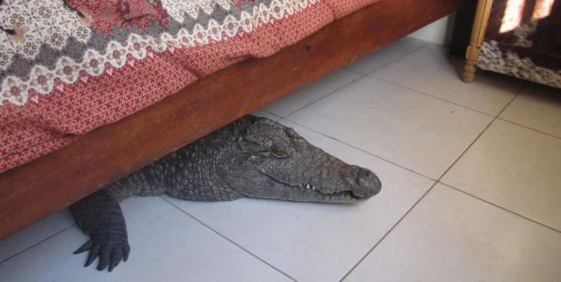 Crocodile Under Bed 6