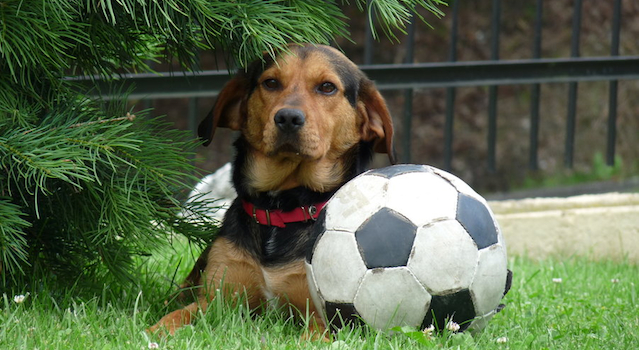 Dog Football