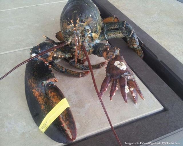 Lola Mutant Six Clawed lobster