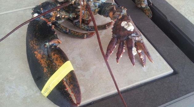 Lola Six Clawed Lobster 5