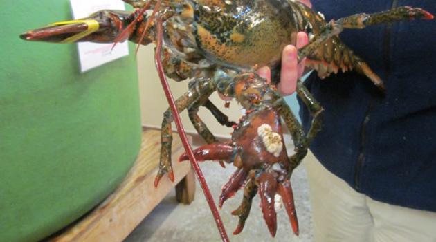 Lola Six Clawed lobster 4