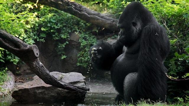 gorilla patrick
