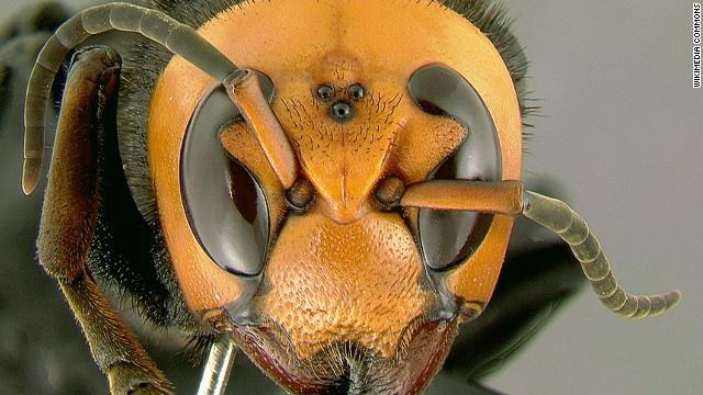 killer hornet 2