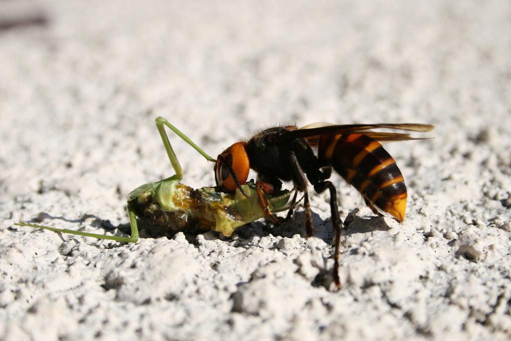 killer hornet 4