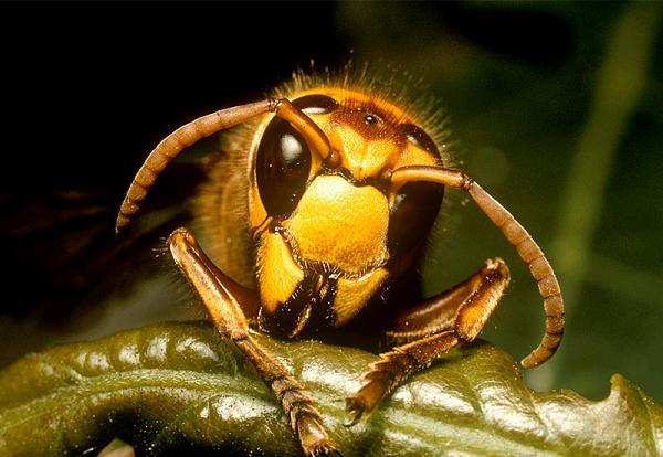 killer hornet 5