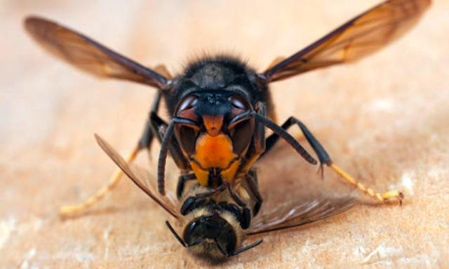 killer hornet 6